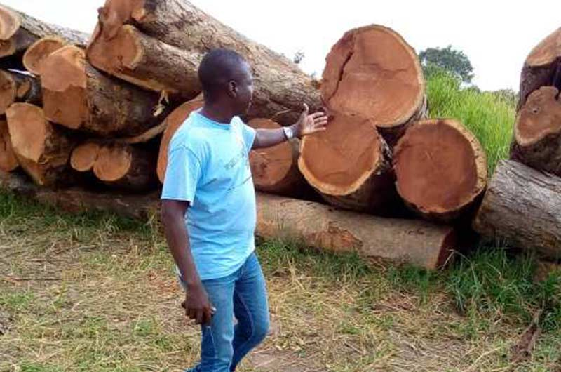 Afzelia African logs
